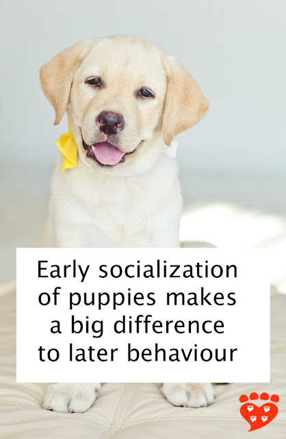 Early socialization for puppies makes a big difference to later behaviour, so start when they are young like this cute little Golden Retriever