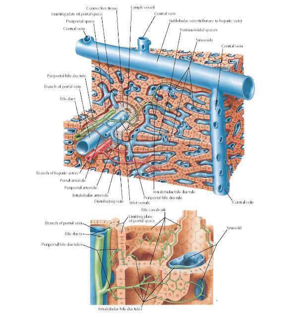 Liver Structure: Schema Anatomy