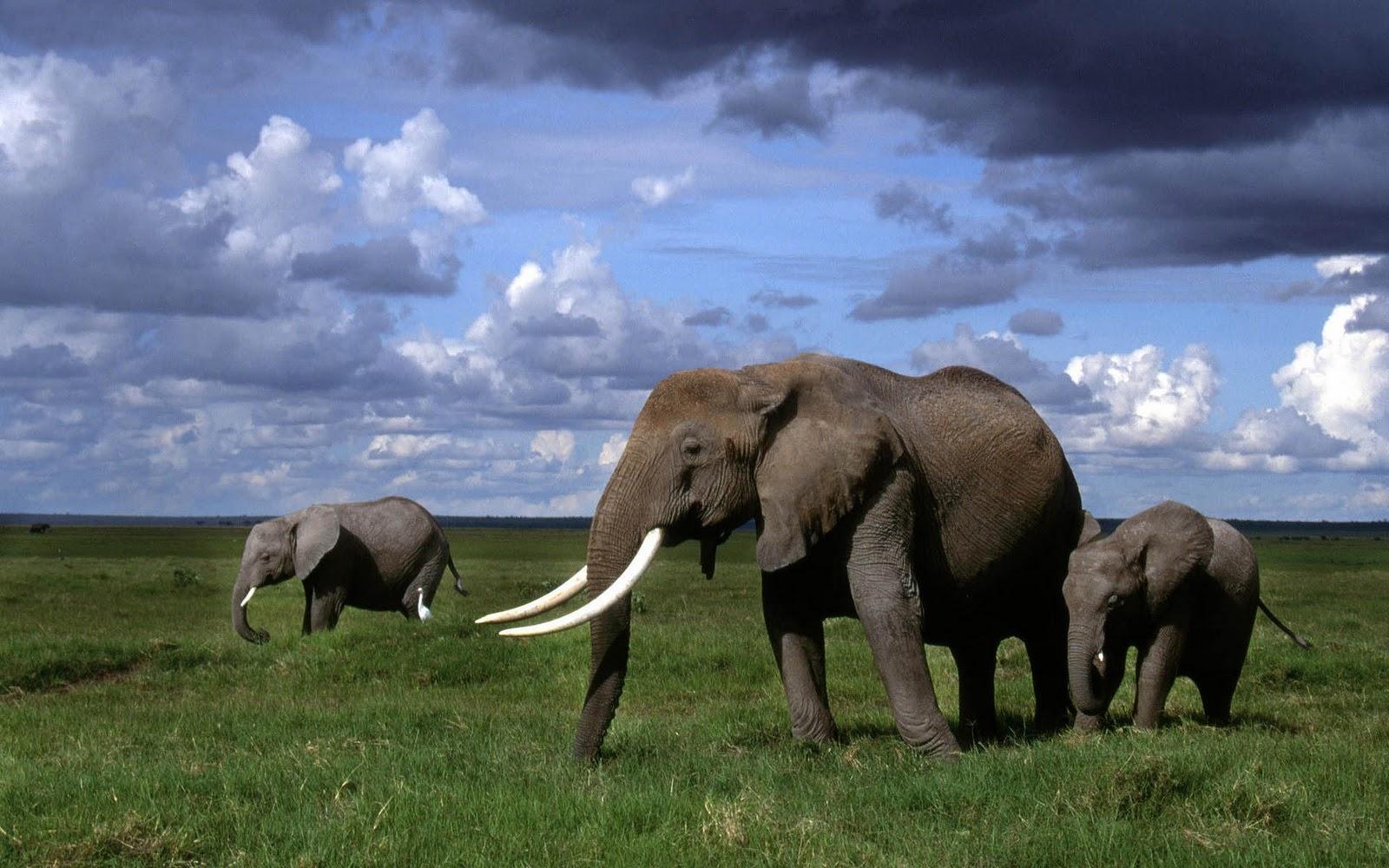 olifanten achtergronden bureaublad - photo #3