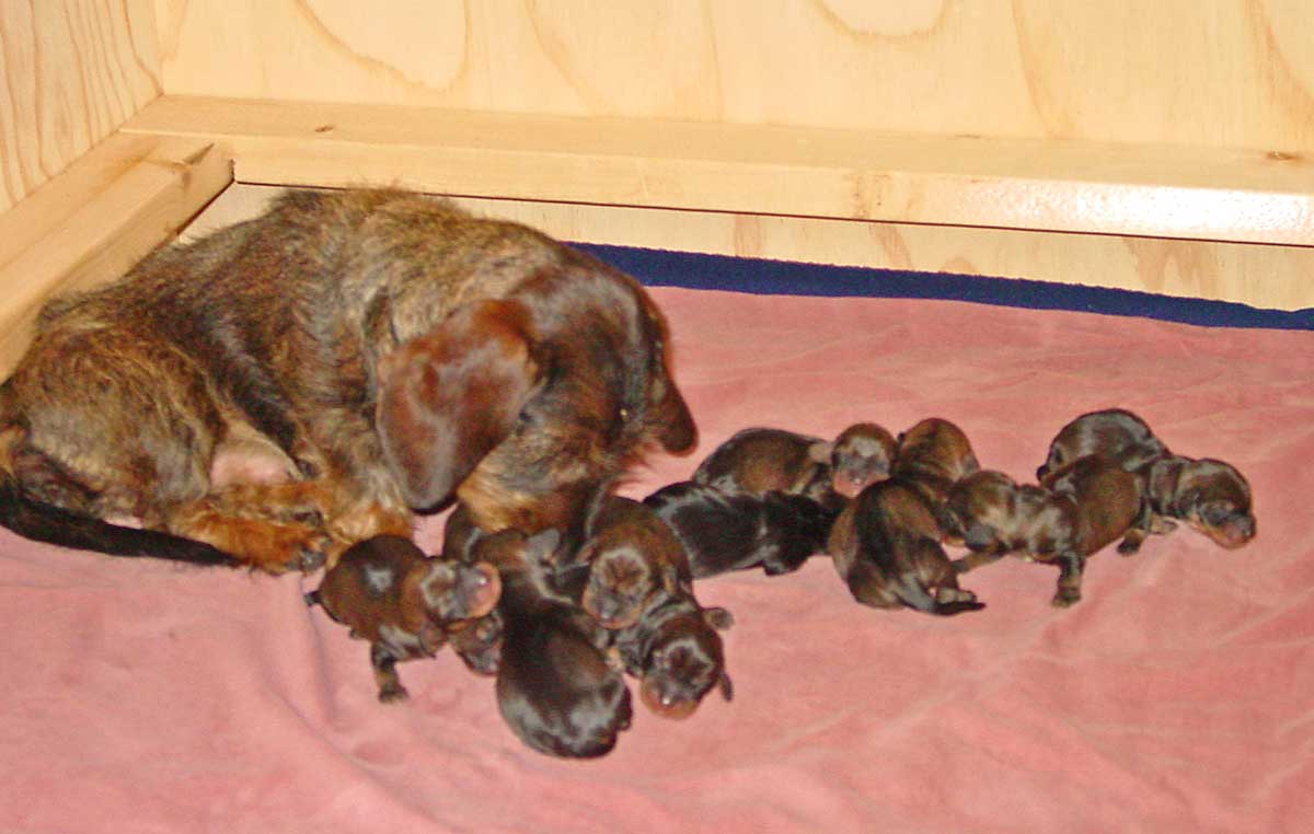 Sausage Dog Puppies For Sale