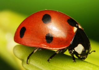 Do Bed Bug Bites Itch Right Away Asian Lady Beetles