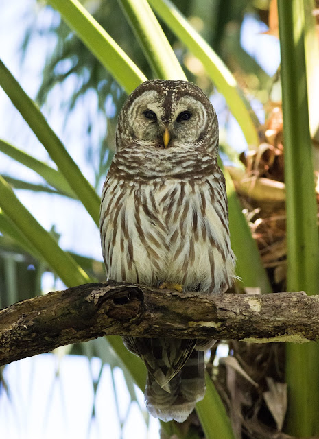 Barred Owl - Mead Botanical Garden, Florida