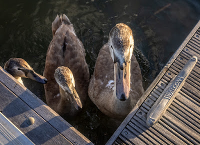 Photo of the cygnets demanding food at the pontoon by Ravensdale