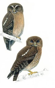 New Discovery: 2 New Owl Species Found in Philippines