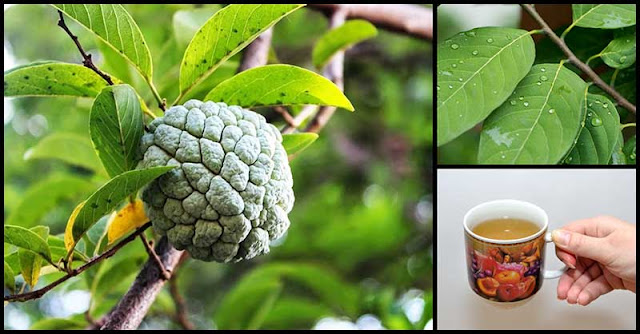 Help Improve Strength, Blood Sugar Levels And Digestive Health With Custard Apple Leaves