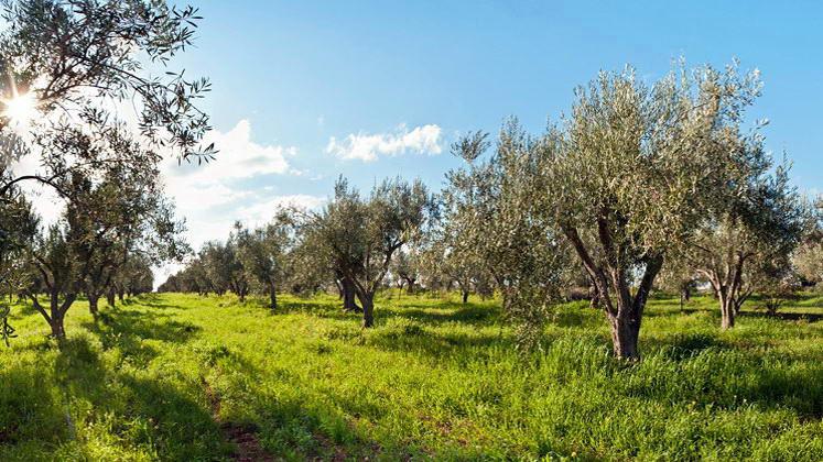 Μεγάλη έξαρση του δάκου στην ελαιοκομική περιοχή της Αλεξανδρούπολης