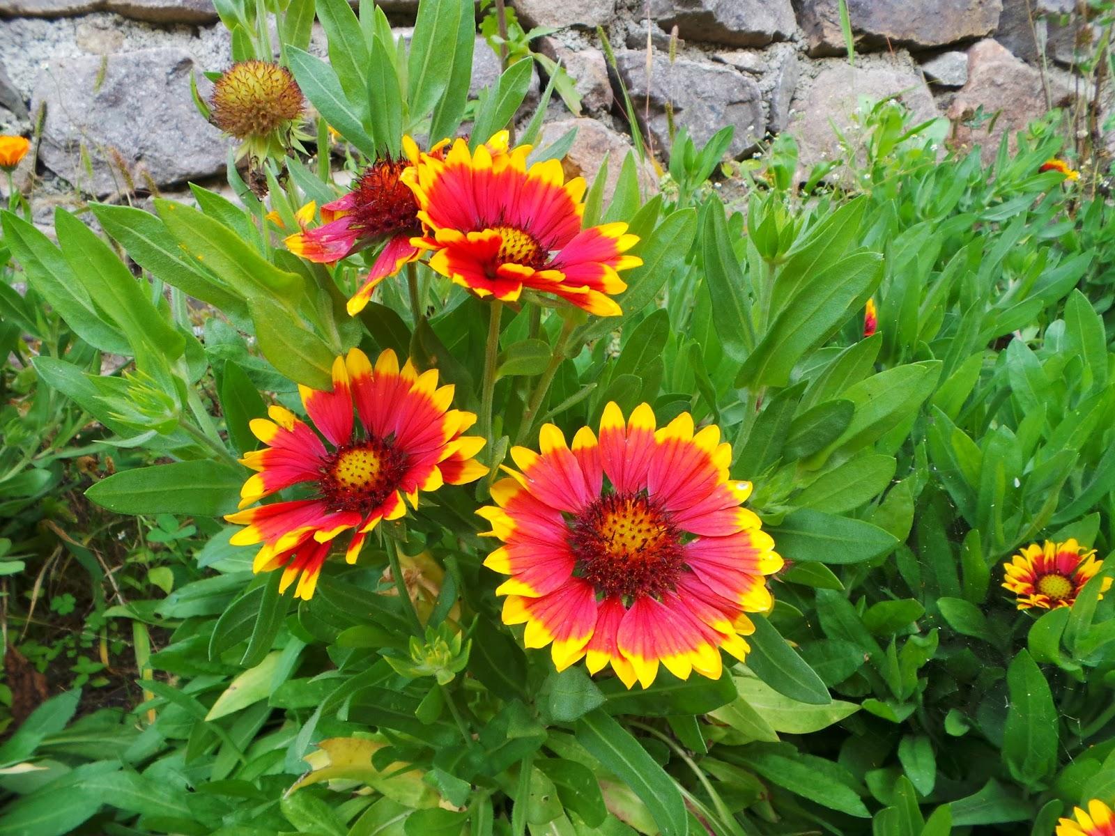 Plant world gaillardia aristata gaillardia aristata mightylinksfo