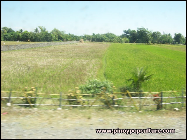 rice field, Mangatarem, Pangasinan, Oryza sativa, grains