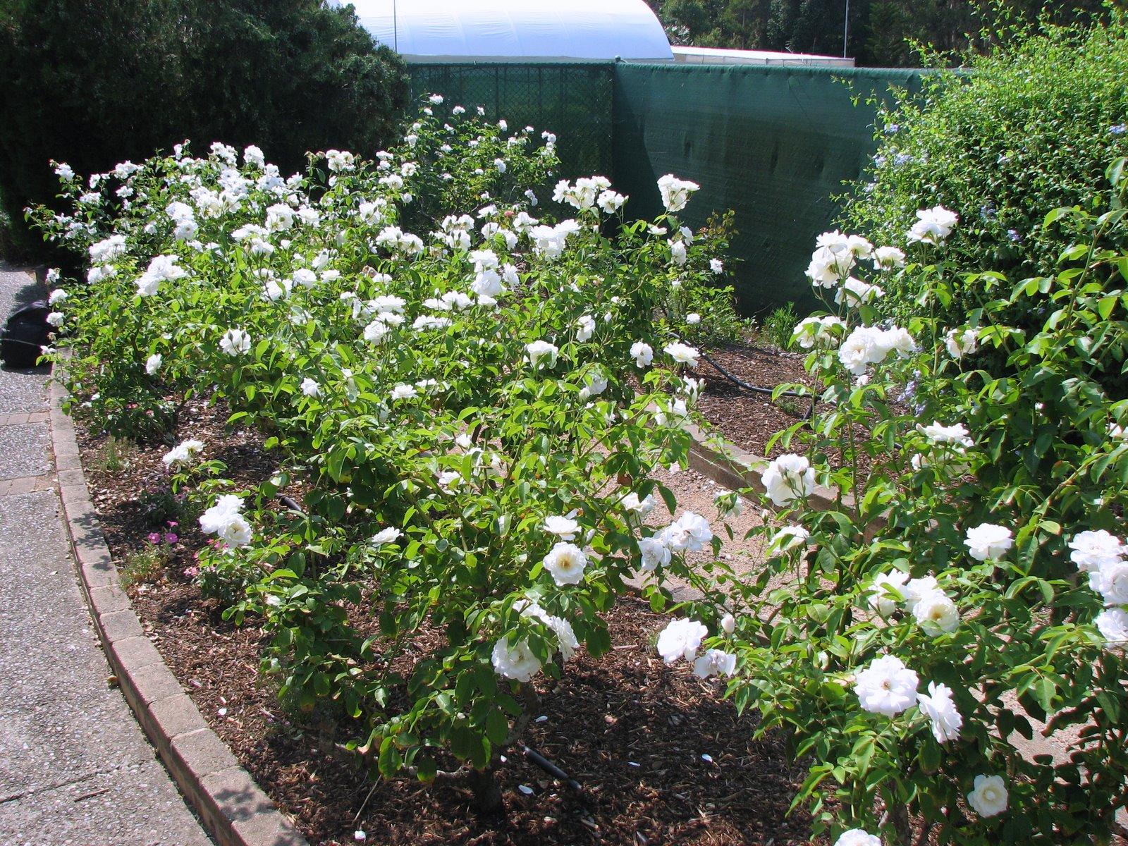 Plant Photography: White Rose Garden