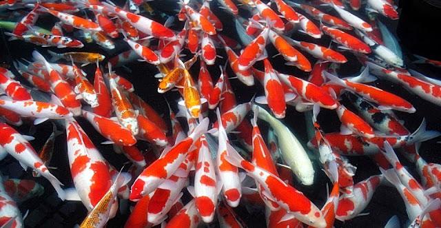 Budidaya Ikan Air Tawar Yang Menguntungkan - Cara Budidaya Ikan