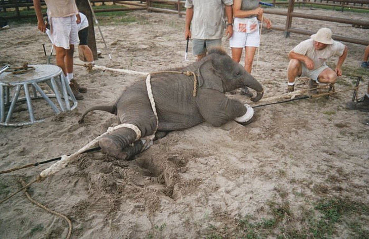 unethical treatment of elephants, boycott riding elephants, cruelty towards elephants