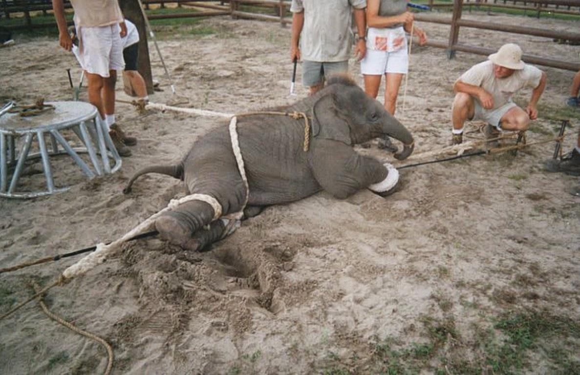 unethical treatment of elephants, boycott riding elephants, cruelty towards elephants