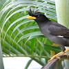 Cara Perawatan Burung Jalak Jambul Thailand Supaya Gacor