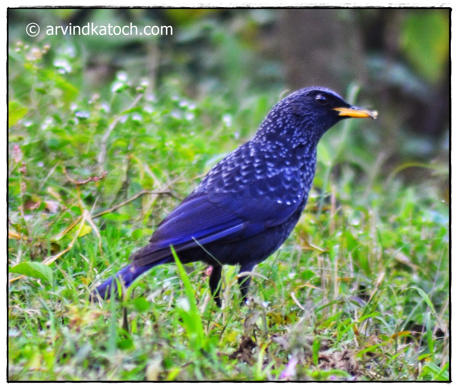Blue Whistling Thrush,