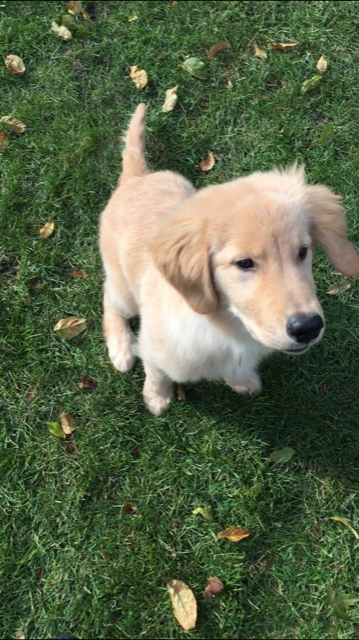 Golden Retriever Puppies Playing Fetch