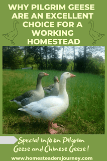 Pilgrim Geese! Why they are such an excellent choice for a small farm! Will they work for your farm? #pilgrimgeese #homesteader