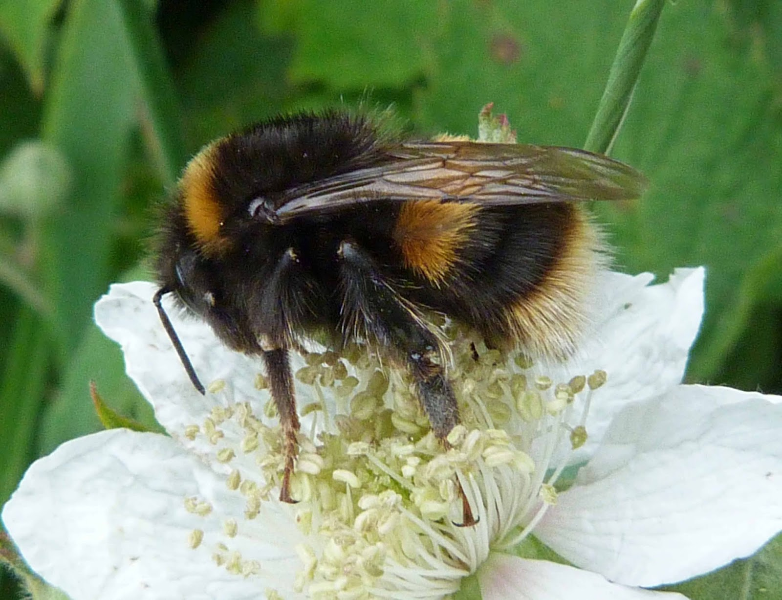 Insects of Scotland: Bees/Wasps/Ichneumons/Sawflies/Ants