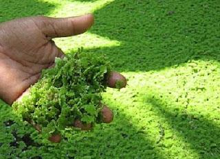 cara budidaya azolla pinnata,cara budidaya azolla di kolam terpal,budidaya tanaman azolla,azolla untuk pakan ikan,cara budidaya azolla pinnata,cara budidaya azolla microphylla,cara penanaman azolla,