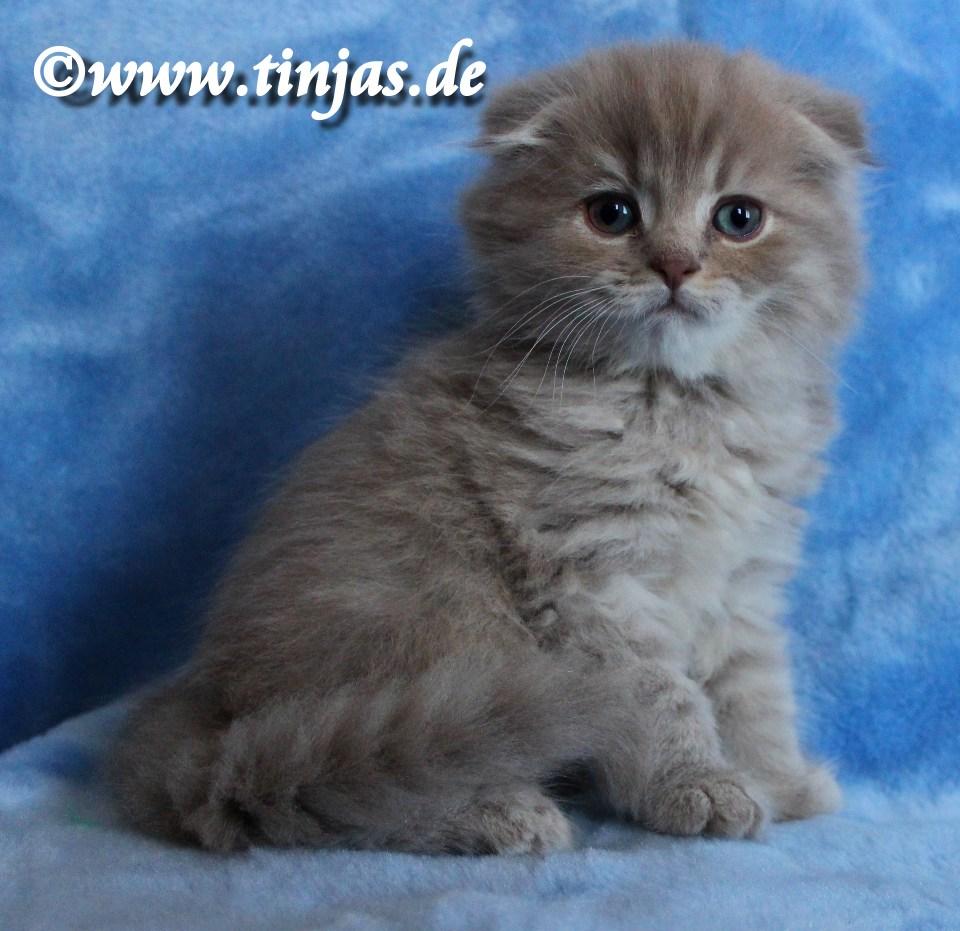 Highland Fold Kitten lilac golden tabby tinjas Katzenzucht 2017 05 20 124
