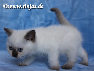 Britisch Kurzhaar Kitten chocolate point tinjas 2017 05 20 106