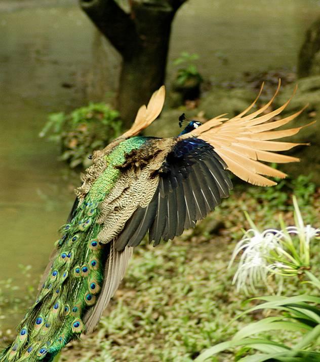 Flying Peacocks Tj Entertainment