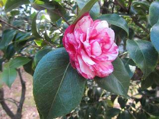 Un fiore di magnolia nel suo splendore