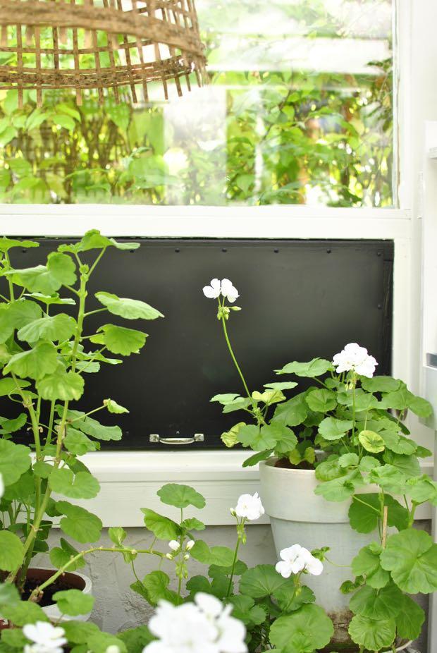 pelargoner växthus hannashantverk.blogspot.se