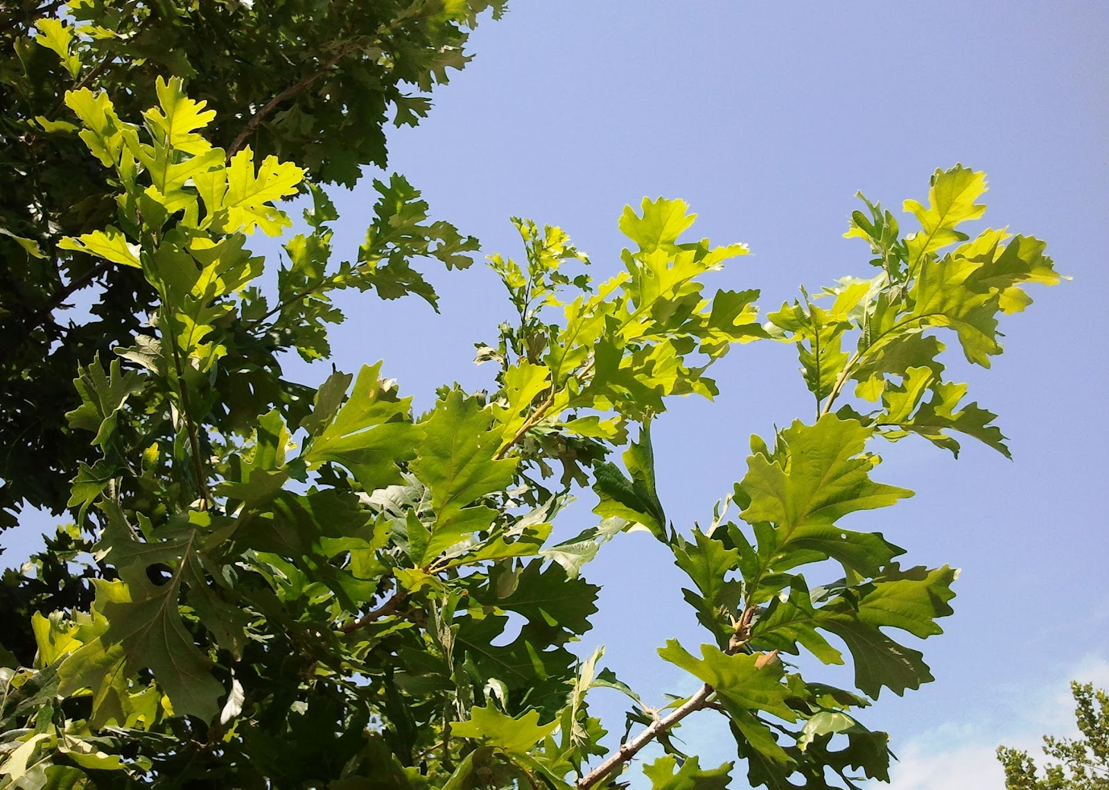 Powell Gardens' Blog: What's Up With the Oaks?