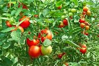 gambar tanaman tomat