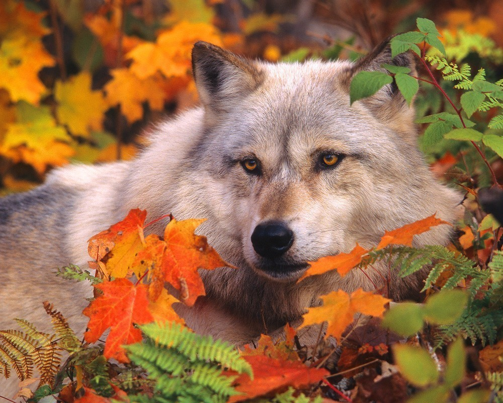 Autumn Tree Leaf Fall Animated Wallpaper White Wolf Breathtaking Photos Of Wolves In The Woods
