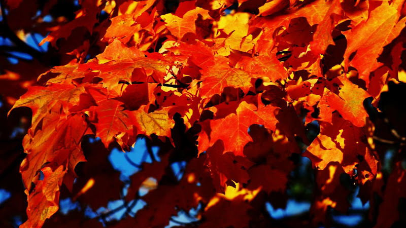 Autumn Leaves of a Maple Tree