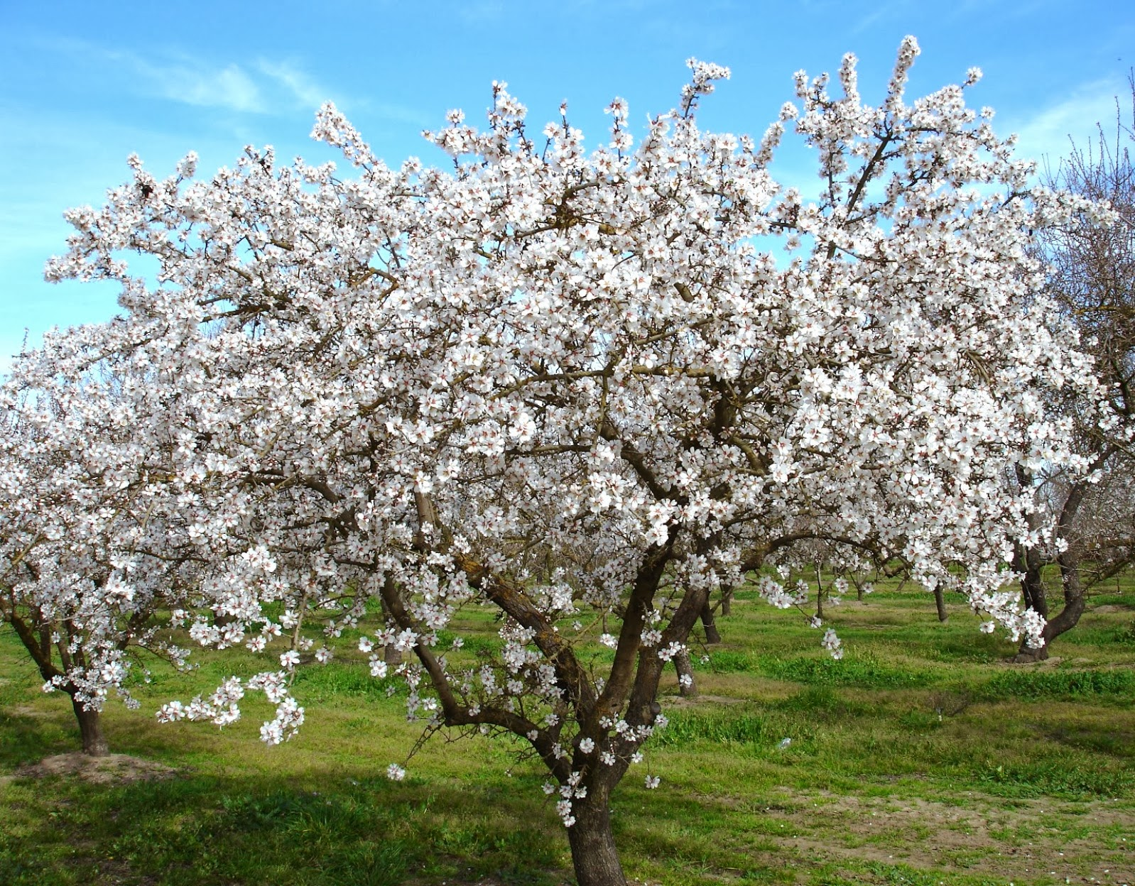 almond tree flower names and meaning flower names and images