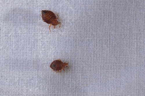 Lovely Bed Bugs: Symptoms And Control