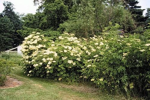 Pinelands Nursery Sambucus canadensis  Common Elderberry