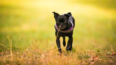 Tierfotografie Tier-Portrait Chihuahua- Hundedame Kurzhaar schwarz