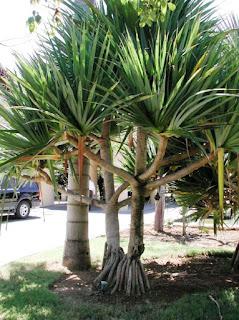 Pandan Kipas - Pandanus utilis - Crew pine - 29 Jenis Tanaman yang Sering Dijadikan Penghias Taman - honaylandscape.blogspot.com