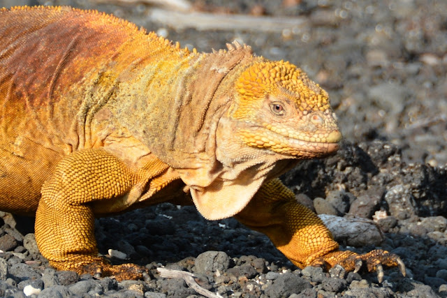 Urbina Bay Galapagos yellow iguana