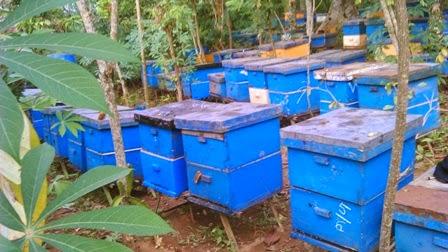 peternakan lebah penghasil madu asli
