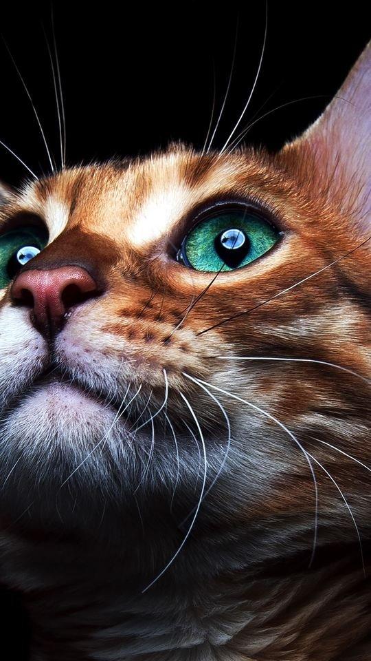 Beautiful Cat Deep Sea Green Eyes 540x960 Wallpaper