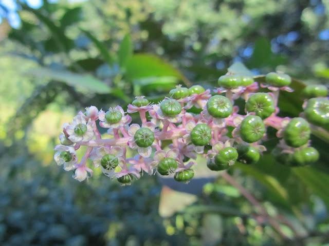 Phytolacca americana flowers