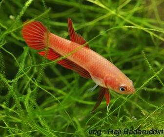 Jenis Ikan Cupang Spesies Betta Rutilans