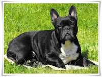 French Bulldog Animal Pictures