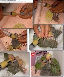 Burung Lovebird - Langkah - Langkah Dasar Pemeberian Makanan untuk Anakan Burung Lovebird (Hand Feeding) - Penangkaran Burung Lovebird