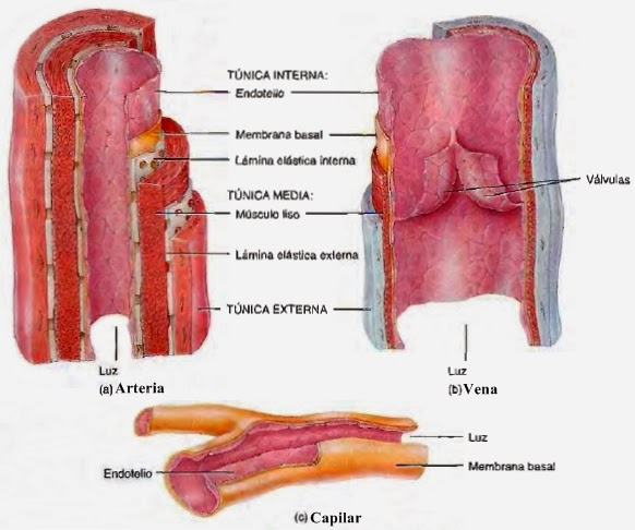 Arterias - Sistema circulatorio