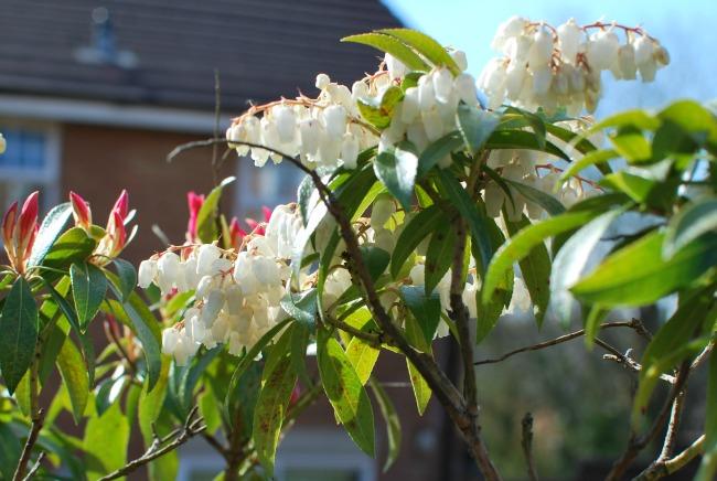 A Cardiff Garden In April white Pieris flowers