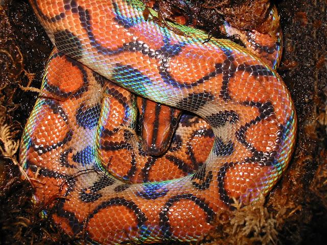 Brazillian Rainbow Boa
