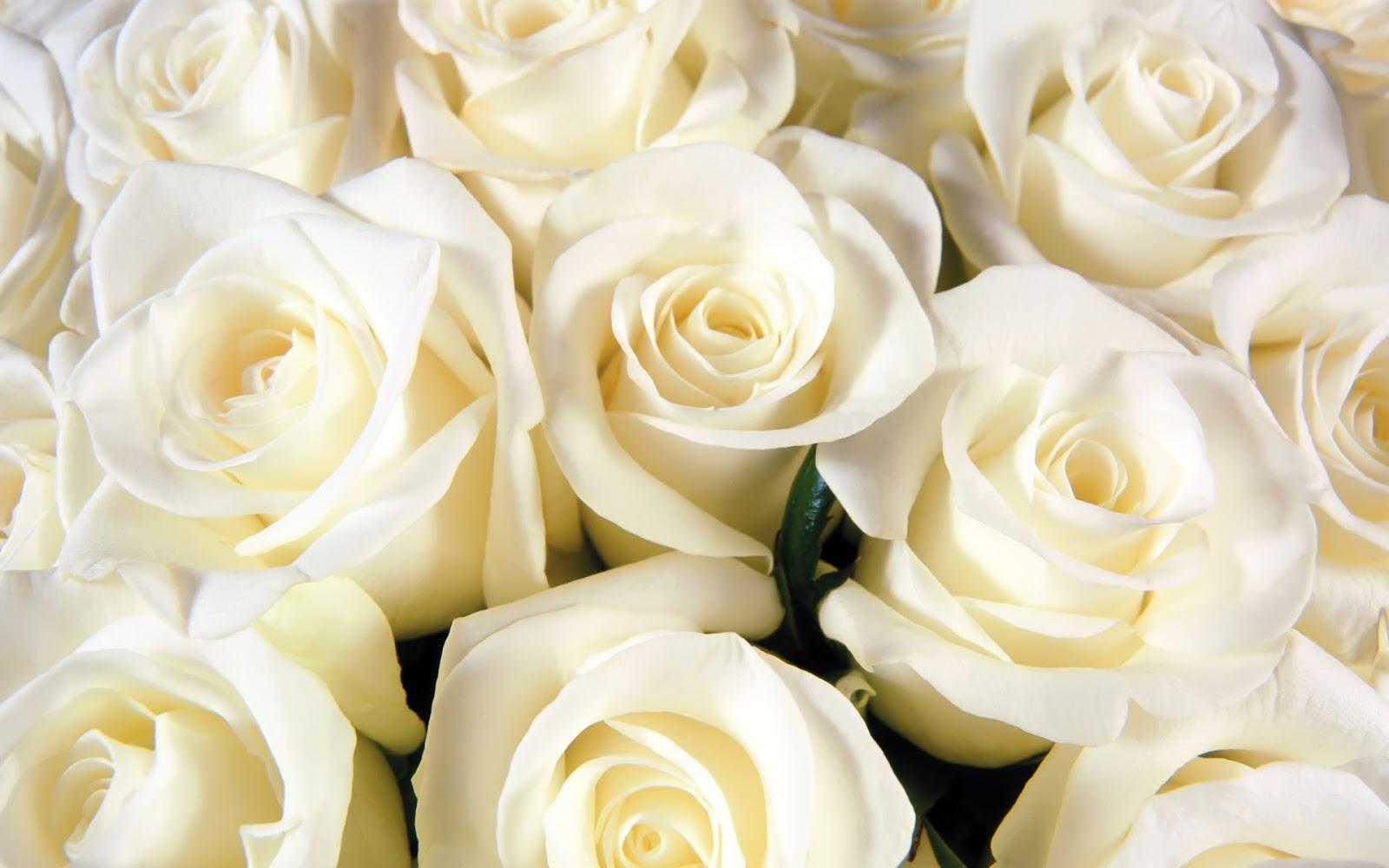 bloomed white roses wallpaper - photo #3