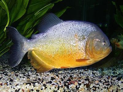 Piranha (Pygocentrus piraya)