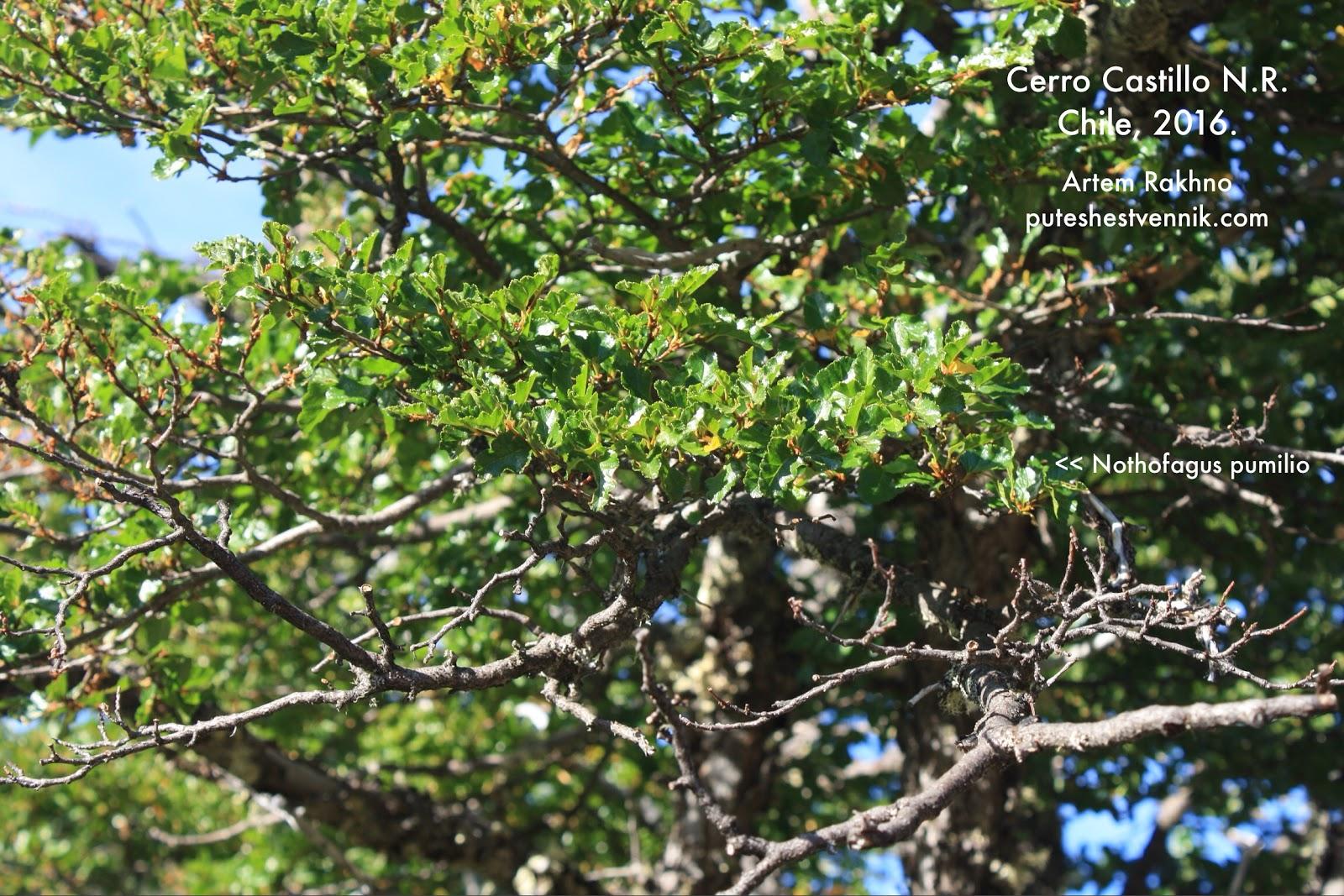 Дерево ленга