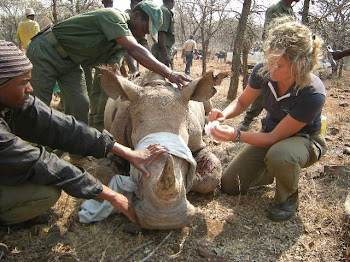 Treating a sick white rhino